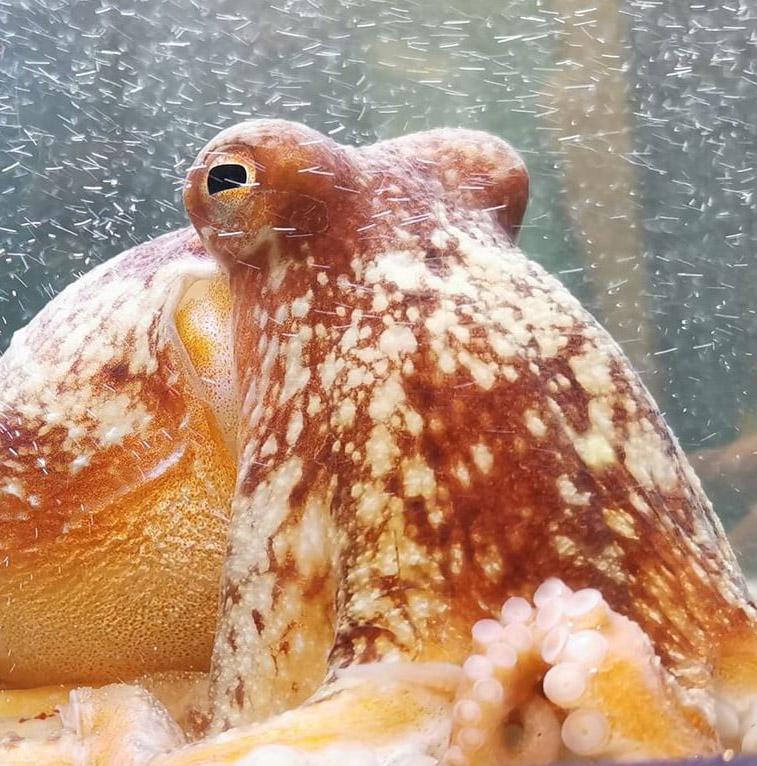 Sea Trust Octopus